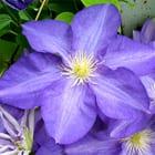 Clematis (Kivistik Collection) 'Silmakivi'