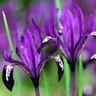 Iris reticulata 'Pauline' - Reticulated Iris - Iris reticulata 'Pauline' has fragrant, rich royal purple flowers with the tips of the falls dipped in purple-black and lit with yellow.