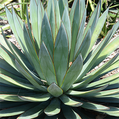Agave 'Shaka Zulu' /'Blue Glow' - Century Plant - Agave 'Shaka Zulu', also known as 'Blue Glow' is a tender Century Plant with blue-green, coarse tooth foliage edged in yellow and red.