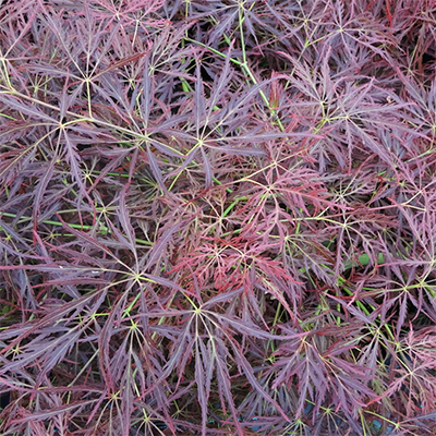 Acer palmatum var. dissectum 'Dragon's Fire' - Laceleaf Maple - Acer palmatum dissectum 'Dragon's Fire' has a dome of bright red lacy leaves turning yellow-orange and crimson in the fall.