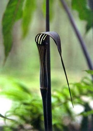 Arisaema concinnum - Cobra Lily - Arisaema concinnum has burgundy or green spathes with white stripes and a long, pointed spathe tip.