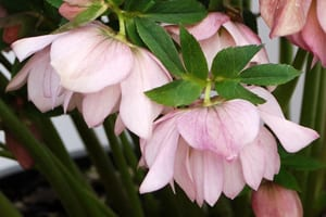 Helleborus x hybridus WJ Cotton Candy - Lenten Rose - Helleborus Winter Jewels Cotton Candy is precious pink like a little girl's Sunday best.