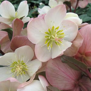 Helleborus x ballardiae 'HGC Mahogany Snow' - Hellebore - 'Mahogany Snow' has pink buds open to big ruffled white and pink hellebore flowers aging to mahogany pink.