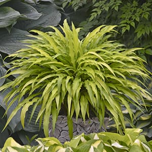 Hosta 'Curly Fries' - Plantain Lily - Hosta 'Curly Fries' forms an arching, wiggly clump of extremely rippled, narrow, yellow to chartreuse leaves.