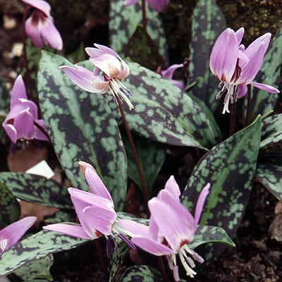 Erythronium dens-canis - Dogtooth Violet - Erythronium dens-canis has beautiful burgundy-mottled foliage with red stems and nodding, pink to lavender, lily-like flowers in spring.