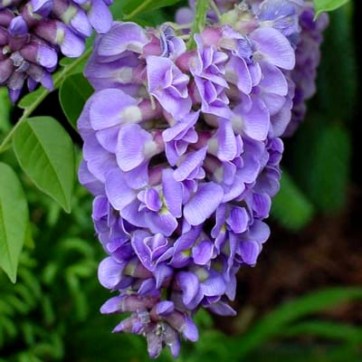 Wisteria frutescens 'Amethyst Falls' - American Wisteria - Wisteria frutescens 'Amethyst Falls' is a daintier, better behaved version of the Chinese wisteria for small spaces.