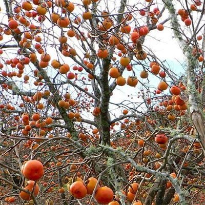 Diospyros virginiana Prairie Star - American Persimmon - Diospyros virginiana Prairie Star is one of the earliest ripening American persimmon producing extra large, very sweet, firm, and flavourful.