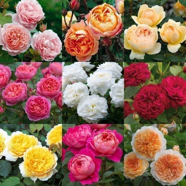 David Austin Roses can be grown in zone 3.